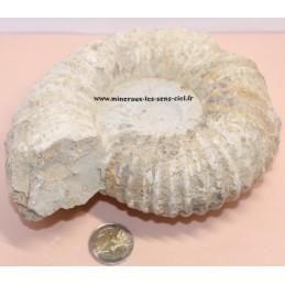 Ammonite Fossile 1,5kg
