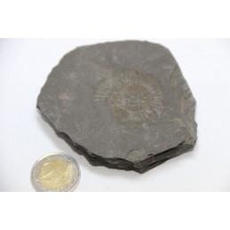 Empreinte Ammonite