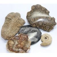 Fossiles et bois pétrifié